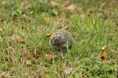 Hedgehog searching for food. Hedgehog in the garden with autumn leaves around Stock Photo