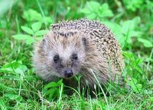Hedgehog selvagem Imagens de Stock