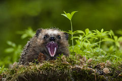 Hedgehog showing teeth Stock Image
