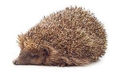 Hedgehog side view Stock Photos