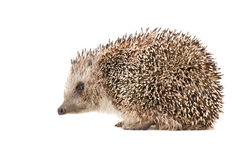 Hedgehog, side view Royalty Free Stock Image