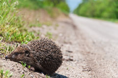 Hedgehog on the sidelines Royalty Free Stock Photos