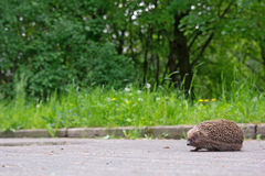 Hedgehog on the sidewalk in the park. Empty space on left Stock Image