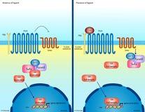 Hedgehog signaling pathway. Illustration of the Hedgehog signaling pathway Stock Photos