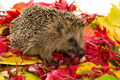Hedgehog sitting on autumn leaves and eating some minced meat Stock Images