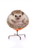 Hedgehog sitting on chair. Stock Photos