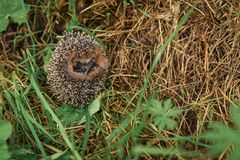 Hedgehog sitting in the grass Royalty Free Stock Image