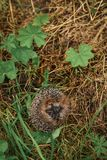 Hedgehog sitting in the grass Royalty Free Stock Images