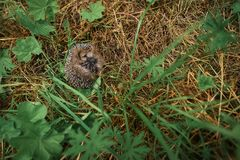 Hedgehog sitting in the grass Stock Photography