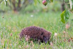 Hedgehog sitting in grass and looking straight stock photos