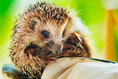Hedgehog Sitting On Hand In Glove Royalty Free Stock Photo