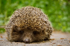 Hedgehog sitting on a road amid the meadow looking into the lens. The hedgehog on the background of grass in the summer standing on the pavement looking into the Stock Image
