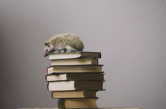 Hedgehog sitting on the top of books. Nice hedgehog sitting on the top of books Stock Images
