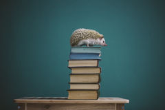 Hedgehog sitting on the top of books. Nice hedgehog sitting on the top of books. Blue colors Royalty Free Stock Photography