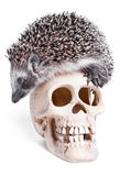 Hedgehog And Skull Royalty Free Stock Photography