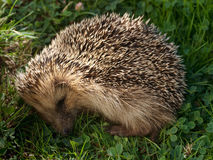 Hedgehog sleeping Royalty Free Stock Images