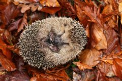 Hedgehog sleeping Royalty Free Stock Photos