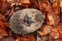 Hedgehog sleeping Royalty Free Stock Photos