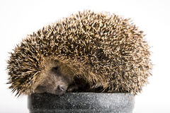 Hedgehog Sleeping Stock Photography