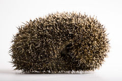 Hedgehog Sleeping Royalty Free Stock Image