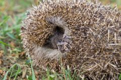 A hedgehog is sleeping in the garden. At summer Royalty Free Stock Photos