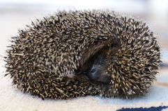 The hedgehog sleeps. The small hedgehog sleeps, having curtailed into a ball Stock Photos