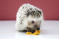 A hedgehog, small mammal with spiny hairs Stock Photos
