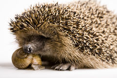 Hedgehog - Snail stock photo