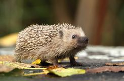 Hedgehog sniffing royalty free stock image