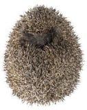 Hedgehog sonhador Imagem de Stock Royalty Free