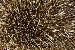 Hedgehog spikes stock image