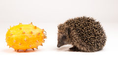 Hedgehog and spiky fruit Royalty Free Stock Image