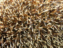 Hedgehog spines. Stiking out every which way Royalty Free Stock Image