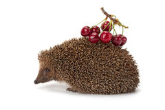 Hedgehog and a sprig of cherry Royalty Free Stock Photos