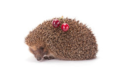 Hedgehog and a sprig of cherry Royalty Free Stock Photo