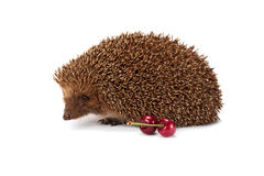 Hedgehog and a sprig of cherry Stock Images