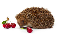 Hedgehog and a sprig of cherry Stock Photography