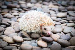 Hedgehog on stack of rock Stock Photography