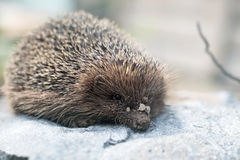 Hedgehog on a stone Royalty Free Stock Photography