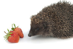 Hedgehog and strawberries. On a white background Stock Photo