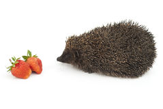 Hedgehog and strawberries. On a white background Royalty Free Stock Photography