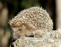 Hedgehog on the stump Stock Photo