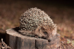 Hedgehog. On the stump in the forest Royalty Free Stock Image