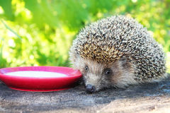 Hedgehog on a stump in the garden drinking milk from a saucer. Royalty Free Stock Image
