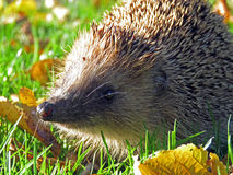 Hedgehog in the sun Royalty Free Stock Photos