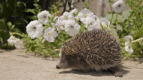 Hedgehog on a Sunny Day Royalty Free Stock Photos