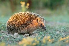 Hedgehog during sunrise stock photo