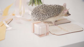 Hedgehog on table walks among decoration for wedding day stock video footage