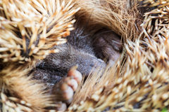 Hedgehog. There are some 15 species of hedgehog in Europe, Asia, and Africa. Hedgehogs have also been introduced into nontraditional ranges such as New Zealand stock photography