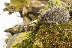Hedgehog thought of traveling to distant corners of the forest Stock Photo